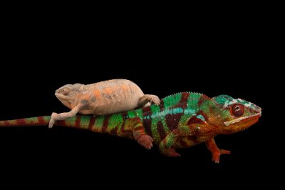 Picture of panther chameleons, Furcifer pardalis--Ambilobe locality, at the Dallas World Aquarium.