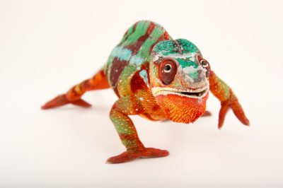 Picture of a male panther chameleon, Furcifer pardalis--Ambilobe locality, at the Dallas World Aquarium.