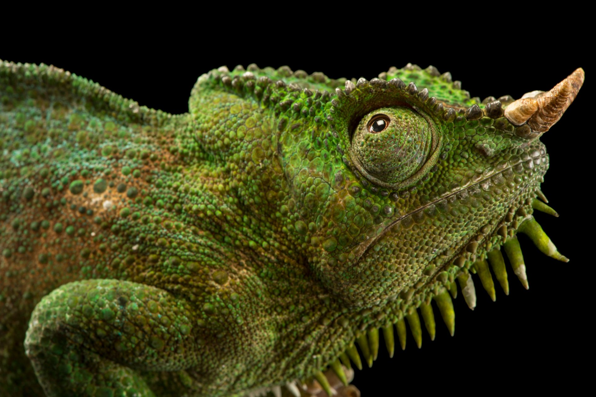 Picture of a four-horned chameleon (Chamaeleo quadricornis quadricornis) at the Saint Louis Zoo.