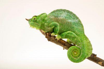 Picture of a four-horned chameleon (Chamaeleo quadricornis quadricornis) at the Saint Louis Zoo.
