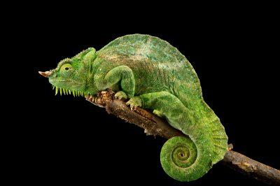 Photo: A four-horned chameleon (Chamaeleo quadricornis quadricornis) at the Saint Louis Zoo.