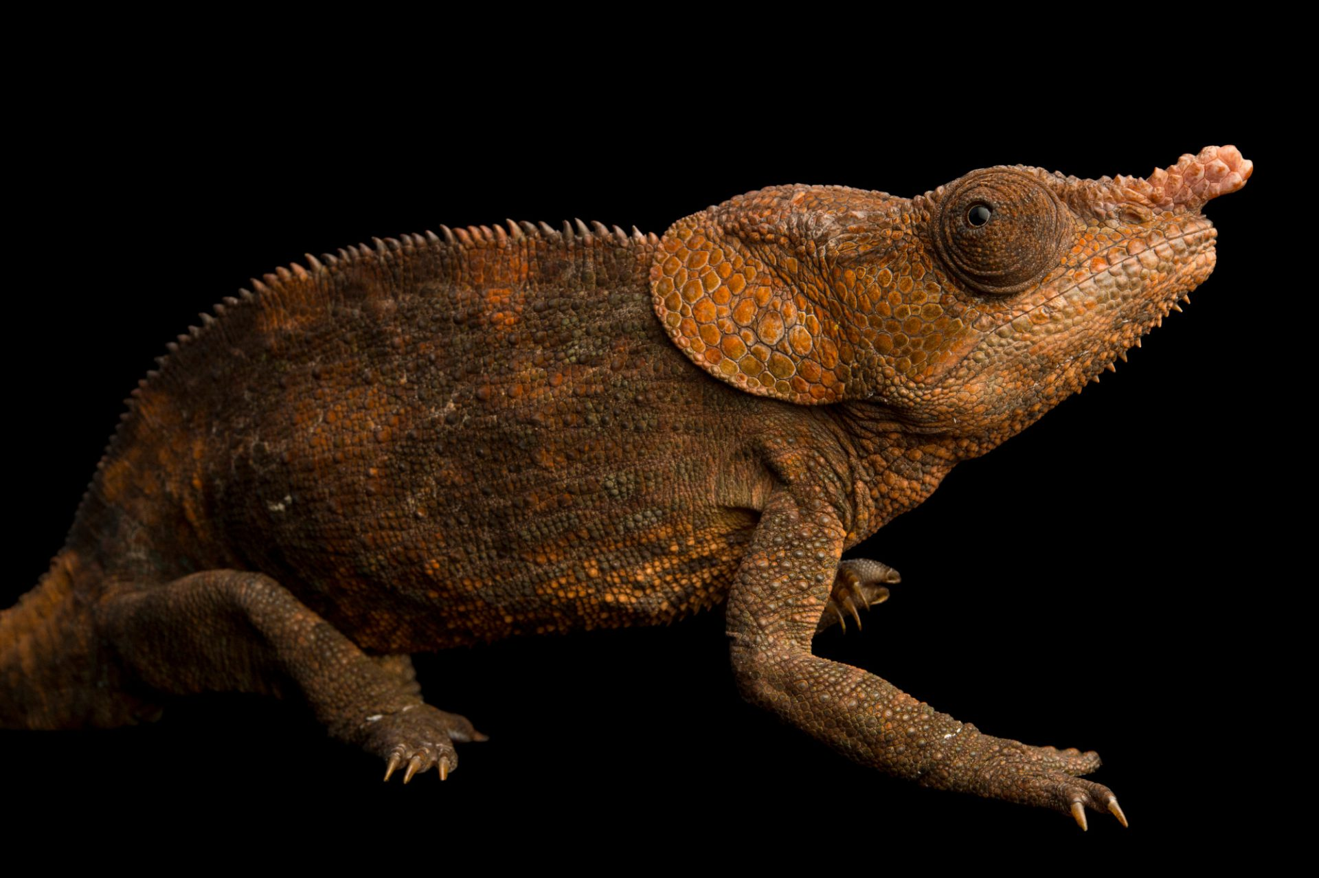 Photo: Elephant-eared chameleon (Calumma brevicornis) near Lemuria Land, Madagascar.