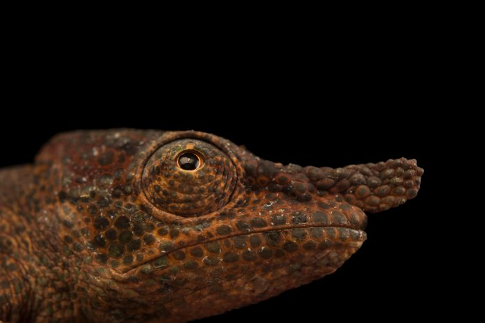 Photo: A nose-horned chameleon (Calumma nasutum) in Madagascar.