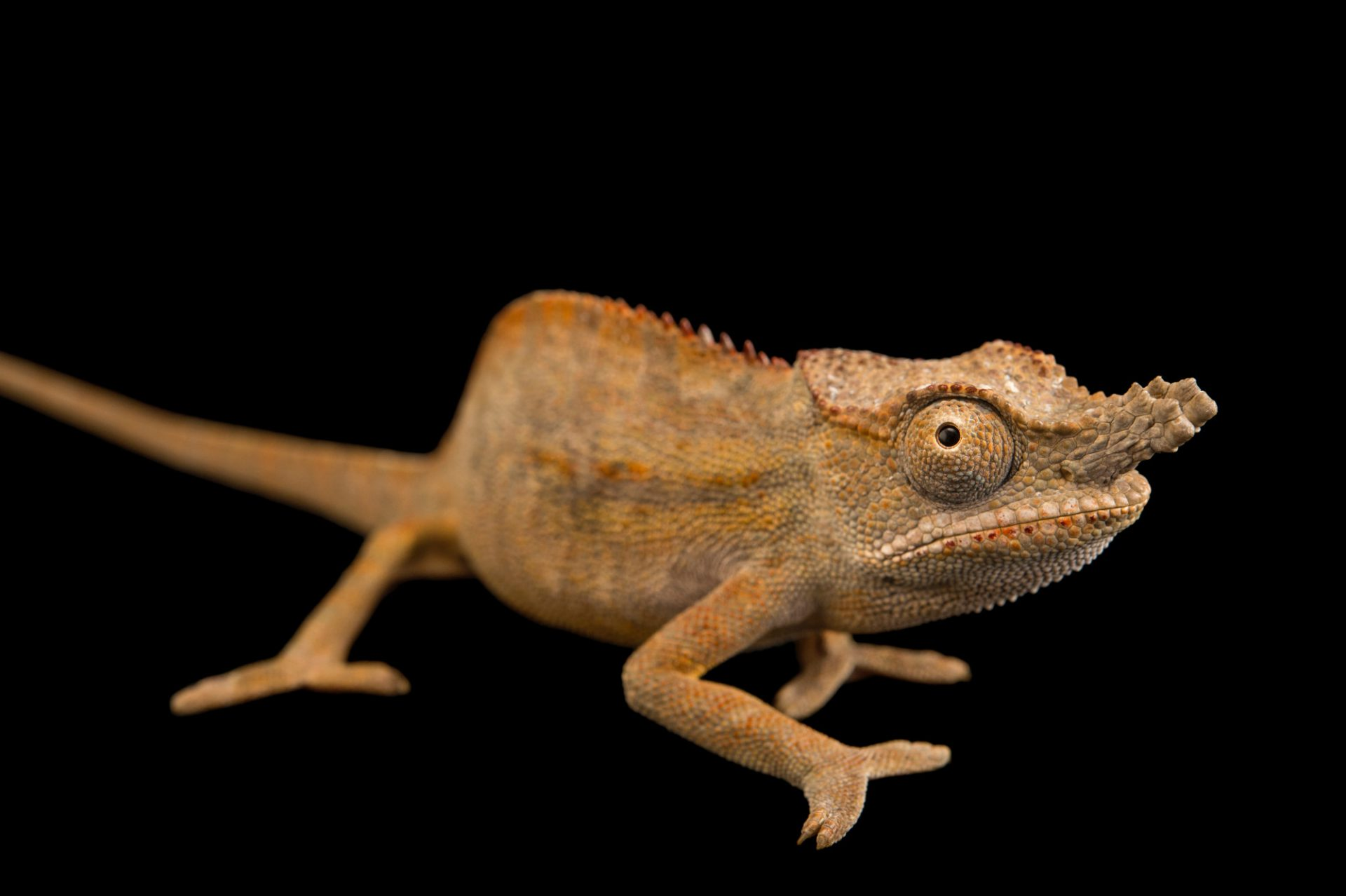 Photo: An endangered lesser chameleon (Furcifer minor) in Madagascar.