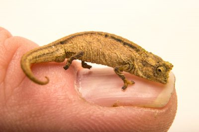 A full grown Madagascan dwarf chameleon (Brookesia minima) in Madagascar. This species is endangered.