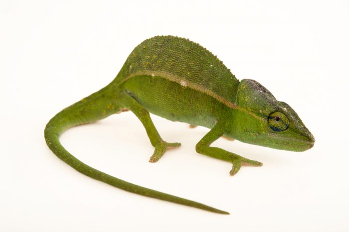 Photo: A male Perinet chameleon (Calumma gastrotaenia) in Madagascar.