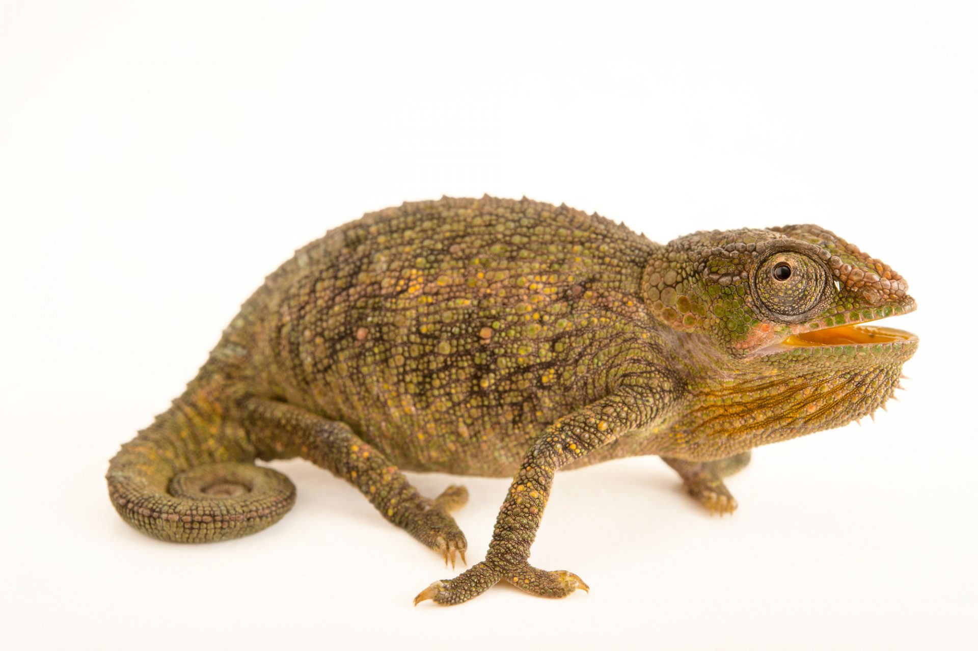 Photo: A chameleon (Calumma hilleniusi) in Madagascar.
