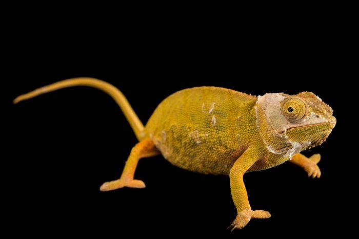 Photo: An endangered lessor chameleon (Furcifer minor) in Madagascar.