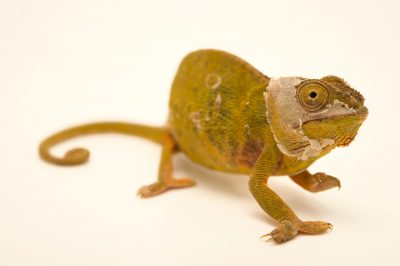 Photo: An endangered lessor chameleon (Furcifer minor) in Madagascar.