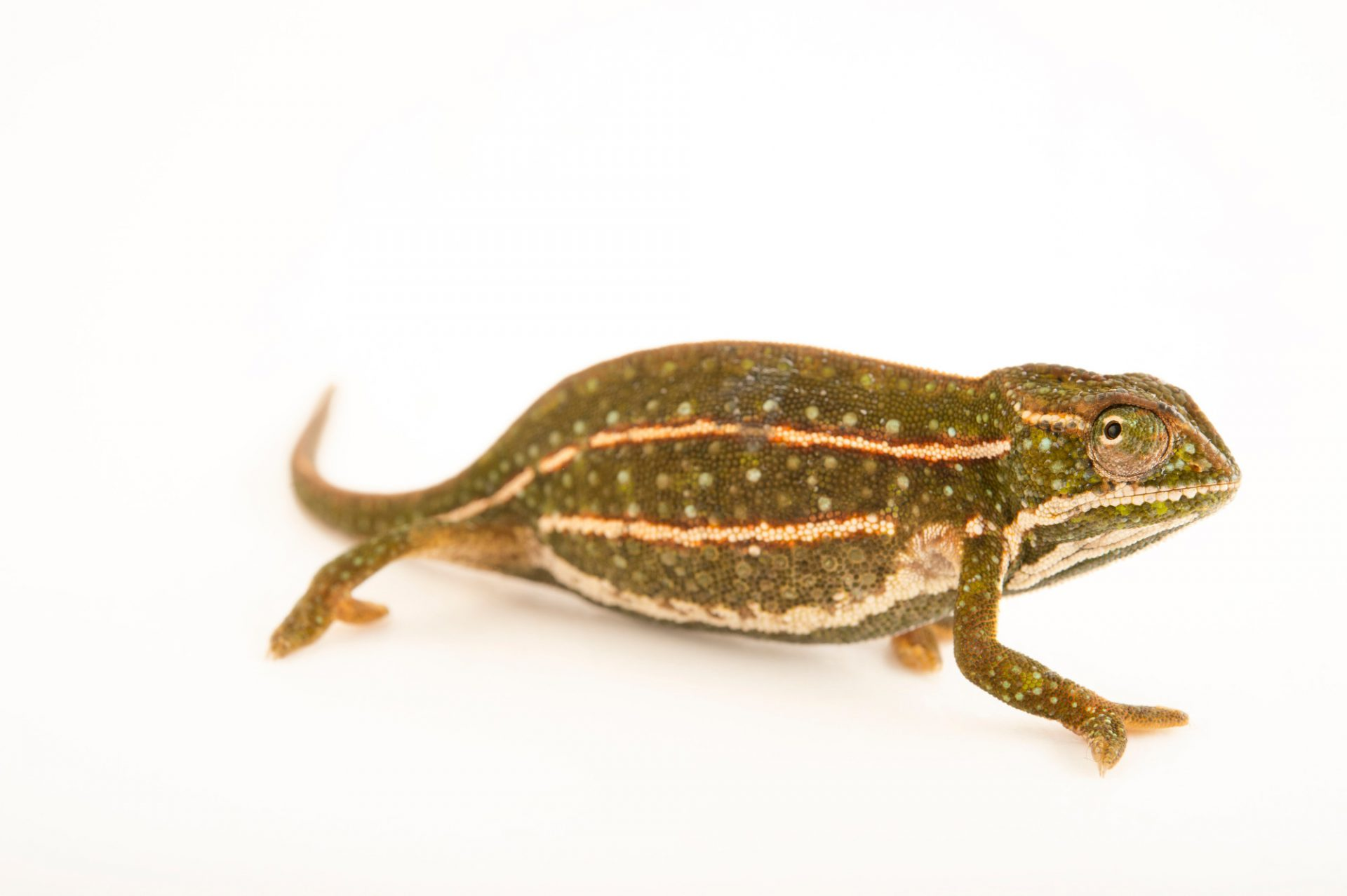Photo: A female jeweled chameleon (Furcifer campani) in Madagascar.