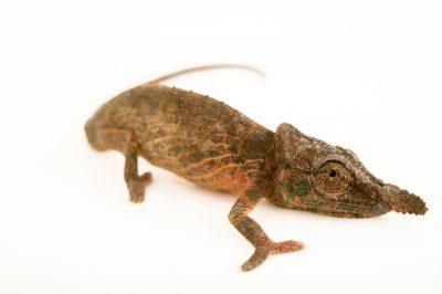 Photo: A nose-horned chameleon (Calumma nasutum) in Madagascar.