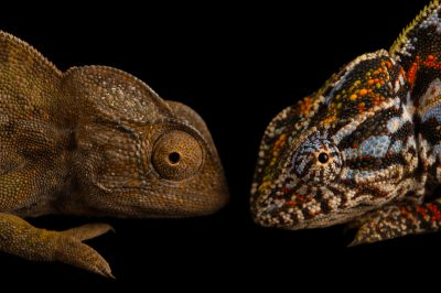 Photo: A female (colorful) and male (brown) carpet chameleon (Furcifer lateralis) illustrate sexual dimorphism; differences in appearance between male and female of the same species.