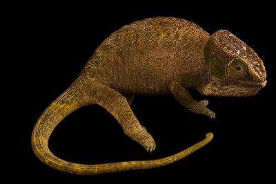 An endangered female O'Shaughnessy's chameleon (Calumma oshaughnessyi) in Madagascar.