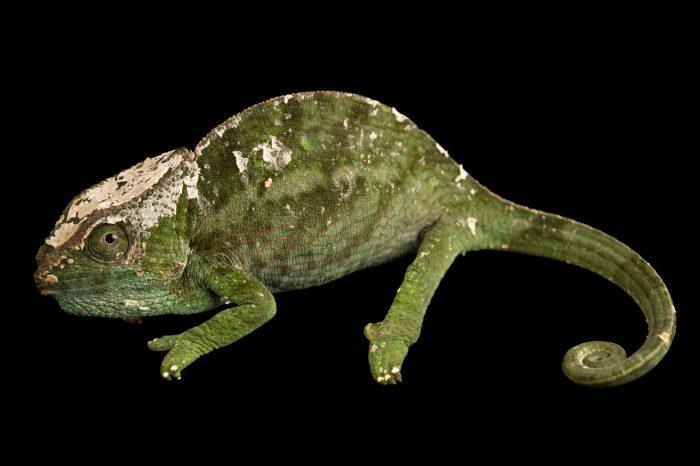 Photo: A female globed-horned chameleon (Calumma globifer) in Madagascar.