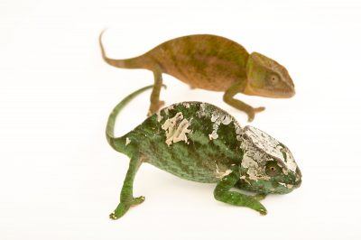 An endangered female O'Shaughnessy's chameleon (Calumma oshaugnessyi) and a female globed-horned chameleon (Calumma globifer) in Madagascar.