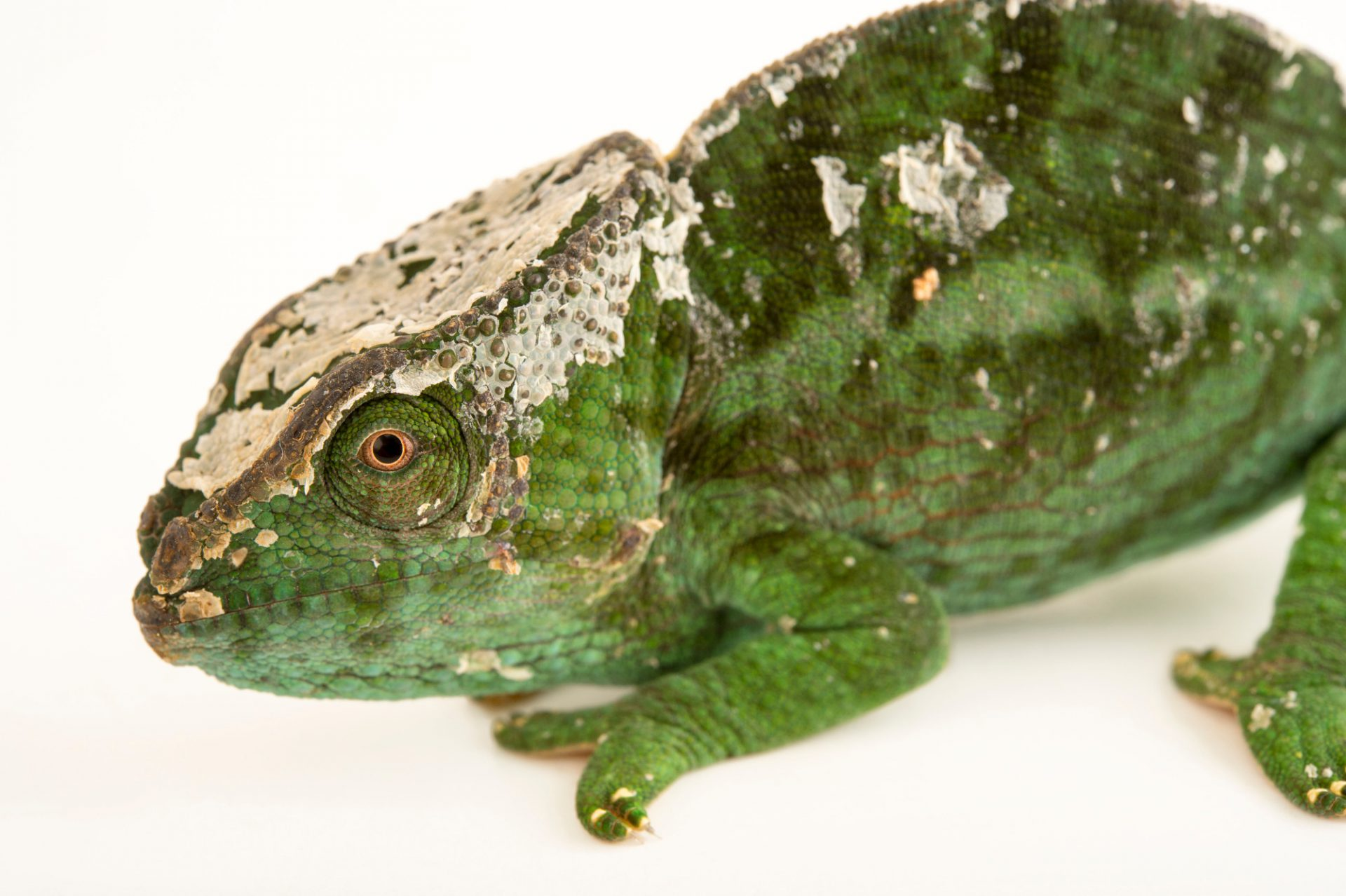 Photo: A female globed-horned chameleon (Calumma globifer) in Madagascar.