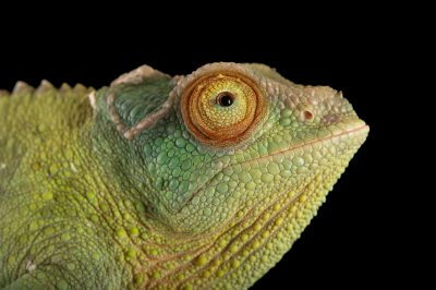 Photo: A female Jackson's chameleon or Jackson's three-horned chameleon (Trioceros jacksonii) at the Miller Park Zoo in Bloomington, IL.