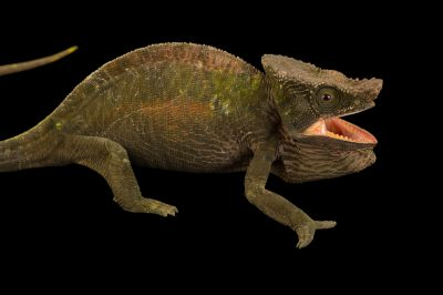 Photo: A Parson's chameleon, Calumma parsonii cristifer, from a private collection.