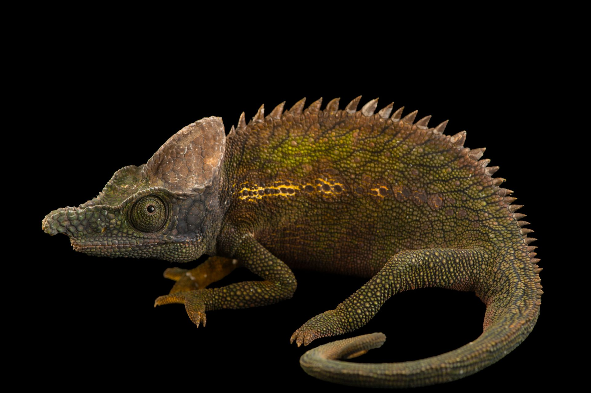 Photo: An antimena chameleon, Furcifer antimena, from a private collection.