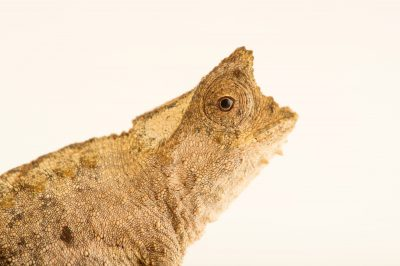 Photo: A male brown leaf chameleon, Brookesia superciliaris, from a private collection.