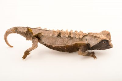 Photo: An endangered Decary's leaf chameleon (Brookesia decaryi) from a private collection.