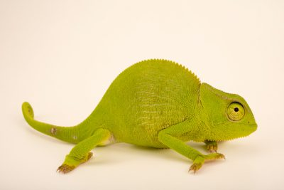 Photo: A male graceful chameleon (Chamaeleo gracilis) at Western Kentucky University.