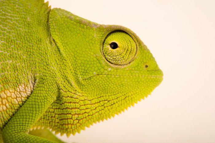 Photo: A male graceful chameleon (Chamaeleo gracilis) at Western Kentucky University.
