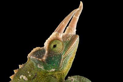Photo: Jackson's three horned chameleon (Trioceros jacksonii) at the Budapest Zoo.