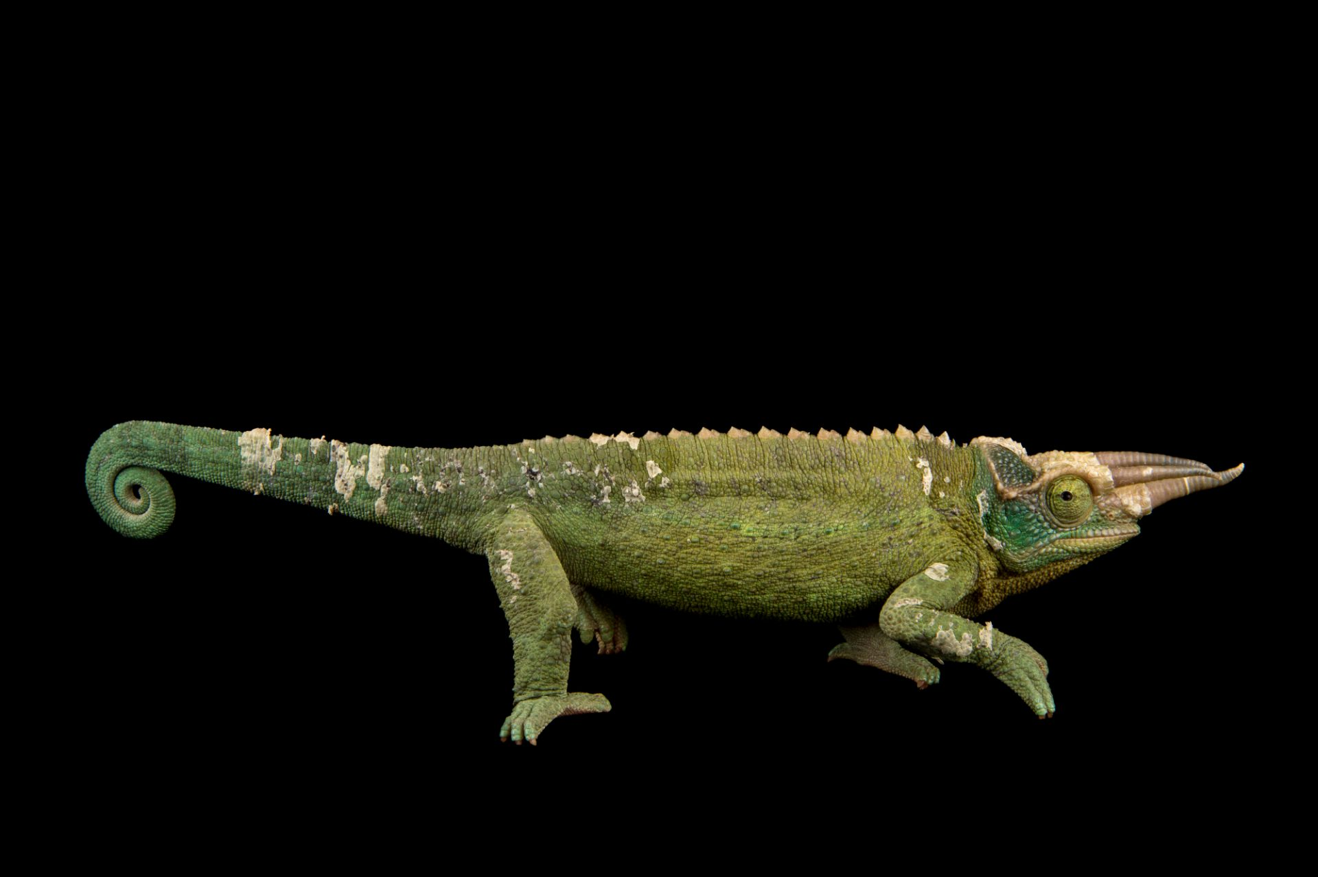 Photo: Jackson's three horned chameleon (Trioceros jacksonii) at the Budapest Zoo.