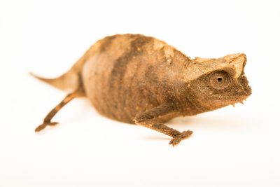 Photo: Brown leaf chameleon (Brookesia superciliaris) from a private collection.