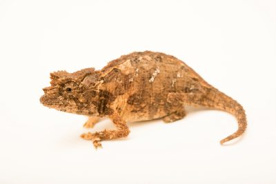 Photo: A Vulnerable Northern leaf chameleon (Brookesia ebenaui) from a private collection.