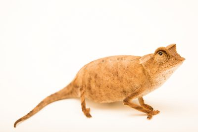 Photo: Plated leaf chameleon (Brookesia stumpffi) from a private collection.