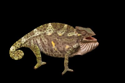 Photo: A female Usambara three-horned chameleon (Trioceros deremensis) from a private collection.