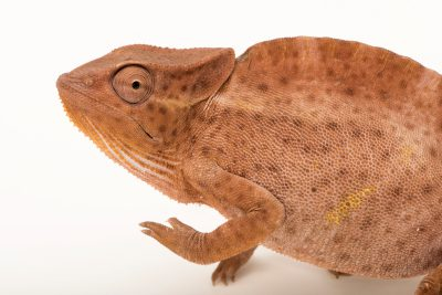 Photo: Brown color phase of a female Usambara three-horned chameleon (Trioceros deremensis) from a private collection.