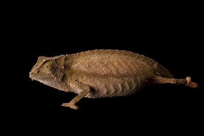 Photo: A bearded pygmy chameleon, Rhampholeon brevicaudata, at the Sedgwick County Zoo.