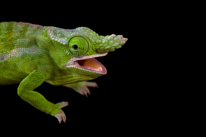 Photo: A male Petter's chameleon (Furcifer petteri) from a private collection in St. Augustine, Florida.