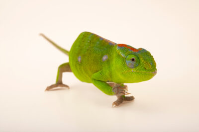 Photo: A female Petter's chameleon (Furcifer petteri) from a private collection in St. Augustine, Florida.