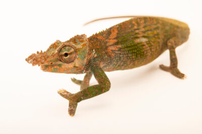 Photo: A male Böhme's two-horned chameleon (Kinyongia boehmei) from a private collection in St. Augustine, Florida.