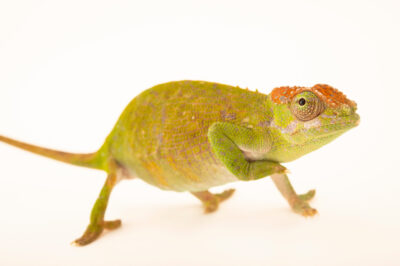 Photo: A female Böhme's two-horned chameleon (Kinyongia boehmei) from a private collection in St. Augustine, Florida.