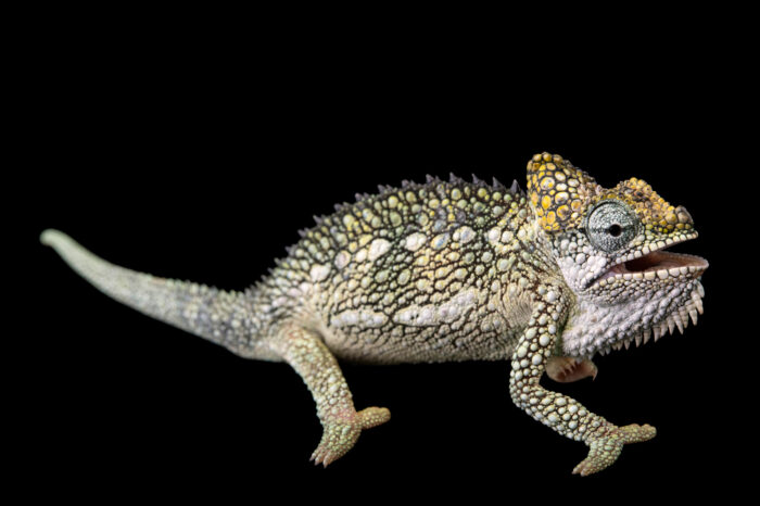 Photo: A male von Höhnel's chameleon (Trioceros hoehnelii) from a private collection in St. Augustine, Florida.