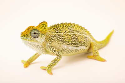 Photo: A female von Höhnel's chameleon (Trioceros hoehnelii) from a private collection in St. Augustine, Florida.