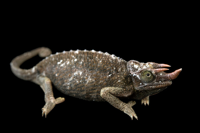 Photo: A female Jackson's chameleon (Trioceros jacksonii jacksonii) from a private collection in St. Augustine, Florida.