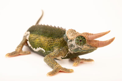 Photo: A male Jackson's chameleon (Trioceros jacksonii jacksonii) from a private collection in St. Augustine, Florida.