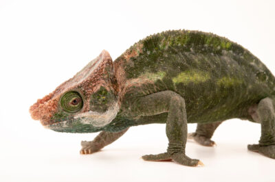 Photo: A male O'Shaughnessy's chameleon (Calumma oshaughnessyi) from a private collection in St. Augustine, Florida.