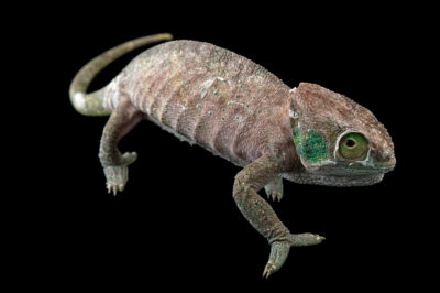 Photo: A female O'Shaughnessy's chameleon (Calumma oshaughnessyi) from a private collection in St. Augustine, Florida.
