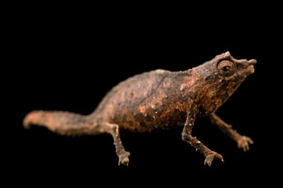 Photo: A male spectral pygmy chameleon (Rhampholeon spectrum) from a private collection.