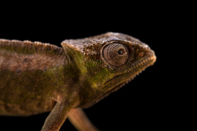 Photo: A female Perret's peacock chameleon (Trioceros perreti) from a private collection.