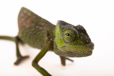 Photo: A female Cameroon dwarf chameleon (Trioceros camerunensis) from a private collection.