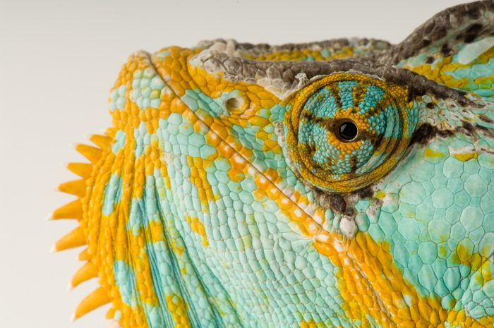 Photo: A veiled chameleon (Chamaeleo calyptratus) at Rolling Hills Wildlife Adventure.
