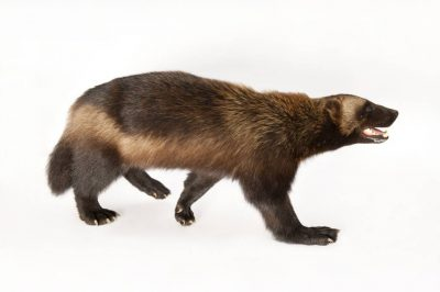 A vulnerable (IUCN) wolverine (Gulo gulo) named Stinky, a candidate species for federal protection.